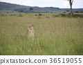 肯尼亞 非洲 馬賽馬拉 36519055