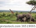 사바나의 풍경 마사이 기린과 코끼리의 무리 36519065