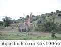 사바나의 풍경 마사이 기린과 얼룩말 36519066