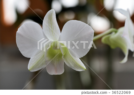 Dendrobium Phalaenopsis 36522069