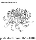 Chrysanthemum vector on white background 36524084