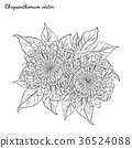 Chrysanthemum vector on white background 36524088