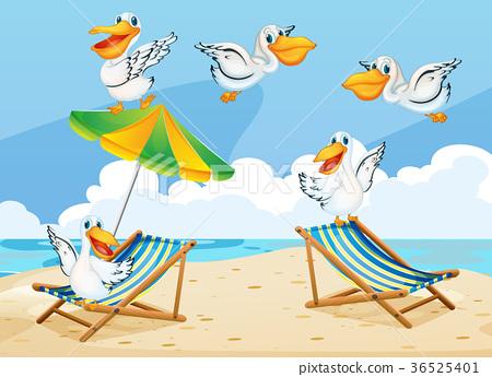 Scene with pelican birds on the beach 36525401