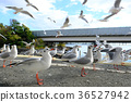 black-headed, gull, bird 36527942
