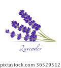 flower, lavender, vector 36529512