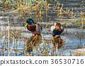 Duck Mallard duck 36530716