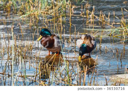 Mallard Ducks (Anas platyrhynchos) 36530716