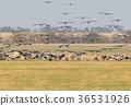 A large flock of grey crane landing 36531926