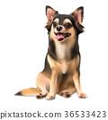 Chihuahua on sitting pose 36533423
