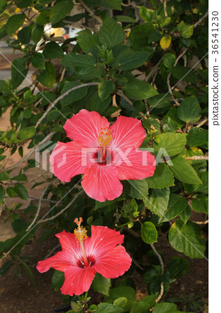 Hibiscus Painted Lady Stock Photo 36541230 Pixta