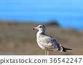 bird, birds, fowls 36542247
