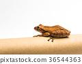 frog isolated on white background 36544363