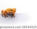 frog isolated on white background 36544424