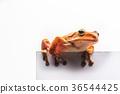 frog isolated on white background 36544425