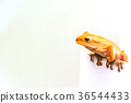 frog isolated on white background 36544433