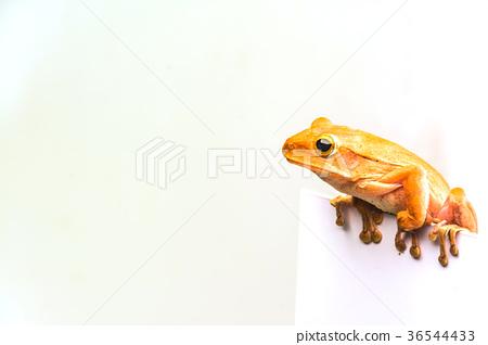 frog isolated on white background 36544433
