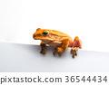 frog isolated on white background 36544434