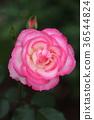 flower, flowers, rose 36544824