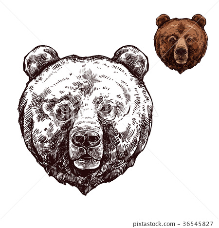 Bear or grizzly animal sketch of wild predator 36545827