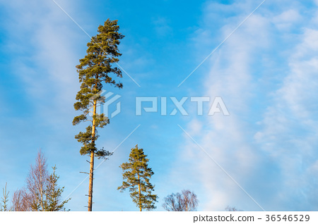 Tall pine trees by a blue sky 36546529