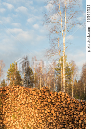 Sunlit pulpwoodpile in a forest 36546531