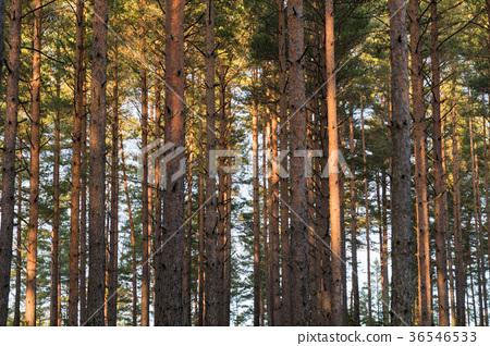 Pine tree trunks pattern 36546533