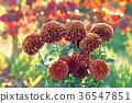 花朵 花 花卉 36547851