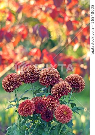 꽃, 플라워, 국화 36548038