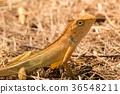 Lizard 36548211