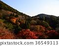 เกียวโต,ต้นเมเปิล,ฤดูใบไม้ร่วง 36549313