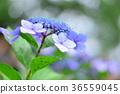 繡球花 花朵 花 36559045