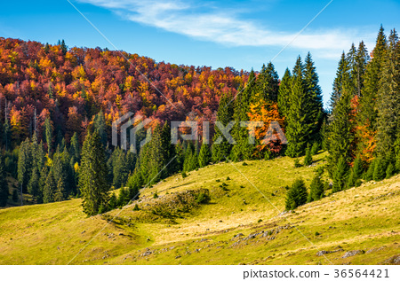 grassy hillside with mixed forest in autumn 36564421