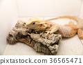 animal iguana reptile 36565471