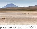 lama Vikunja (Vicugna vicugna) 36565512