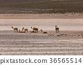lama Vikunja (Vicugna vicugna) 36565514