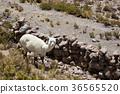 Alpacas in Andes 36565520