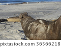 Male Southern Elephant Seal 36566218