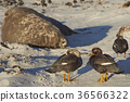 animal bird duck 36566322