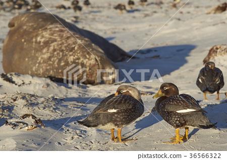 Falkland Steamer Ducks 36566322