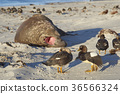 animal bird duck 36566324