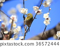 white-eye, white eye, flower 36572444