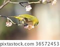 white-eye, white eye, flower 36572453