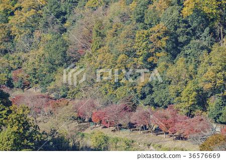 嵐山漂亮的楓紅 36576669