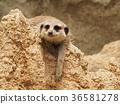 動物 岩石 搖滾樂 36581278
