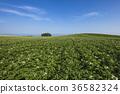 北海道的馬鈴薯田 36582324