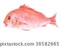 水彩 水彩画 鲷鱼 36582665