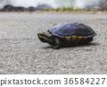 turtle, tortoise, tortoises 36584227