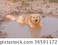 animal, dirt, dog 36591172