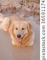 animal, dog, retriever 36591174