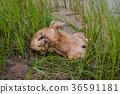 animal, dog, retriever 36591181